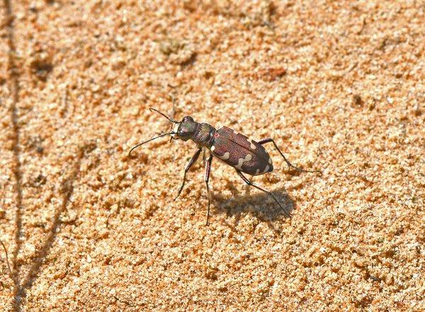 Dünen-Sandlaufkäfer (P. Salm)