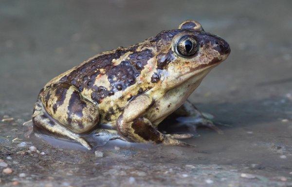 Knoblauchkröte (M. Bunzel-Drüke)