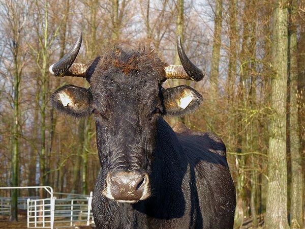 Sayaguesa Kuh aus Spanien war 20 Jahre eine unserer besten Zuchtkühe (Foto: M.Scharf)