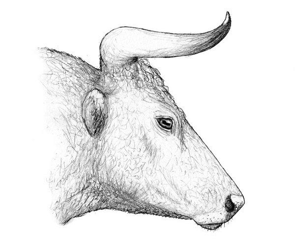 Kopf eines Auerochsens (Zeichnung:D.Foidl)
