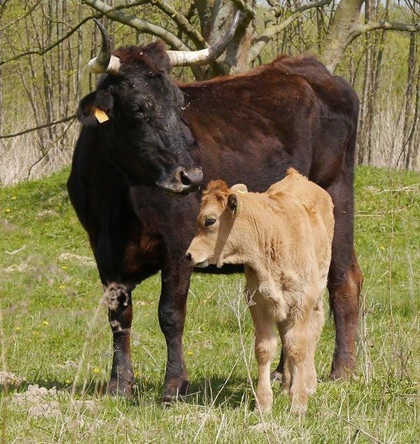Sayaguesa Kuh Julia mit Kalb (M.Scharf)