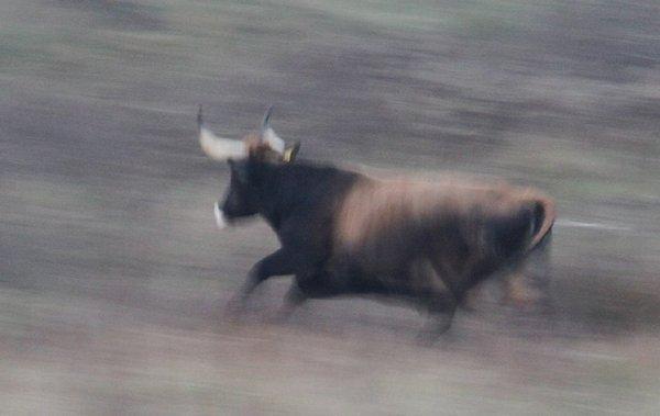 über 40 km/h schnell: Taurus-Kuh im Sprint (M.Bunzel-Drüke)