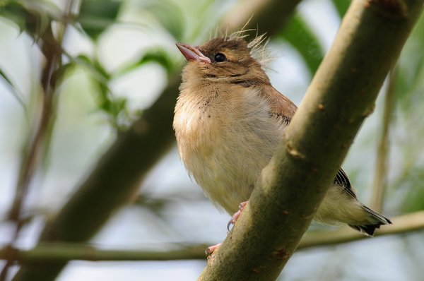 Junger Buchfink (A. Müller)