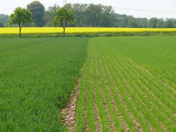 Extensiviertes Sommergetreide schafft im Frühling offenen Boden (R. Joest)