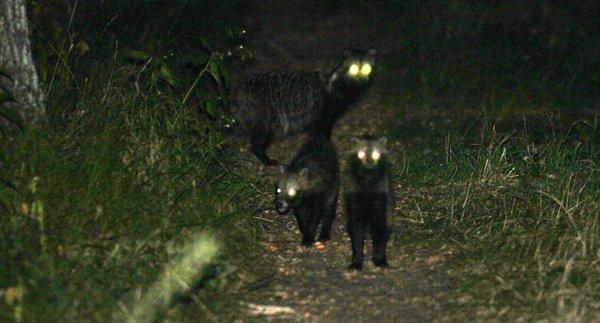Marderhund in der Dunkelheit (H. Vierhaus)