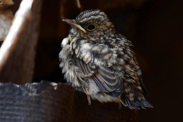 Dieser Grauschnäpper hat gerade das Nest verlassen (A. Müller)