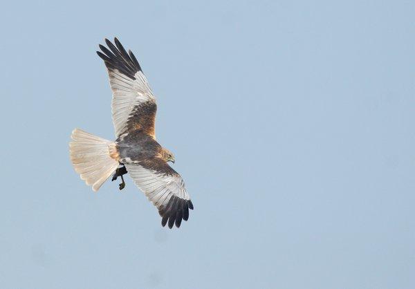 Fliegende Rohrweihen kann man über der Ollen Wiese gut beobachten (M. Bunzel-Drüke)