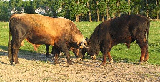 Taurus-Bullen kämpfen (M.Scharf) Stierkampf