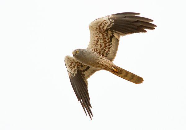 Wiesenweihen-Männchen (M. Bunzel-Drüke)