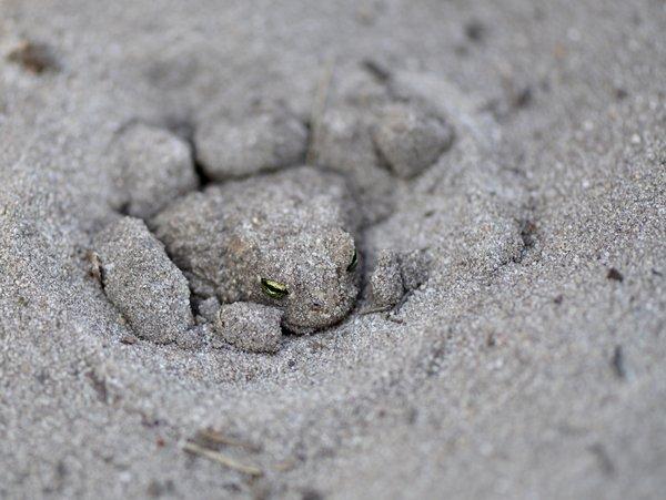 Kreuzkröten graben sich gerne auch im Sand ein (P. Salm)