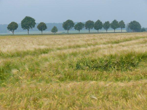 Ausgedehnte Getreidefelder prägen die Landschaft der Hellwegbörde (R. Joest)
