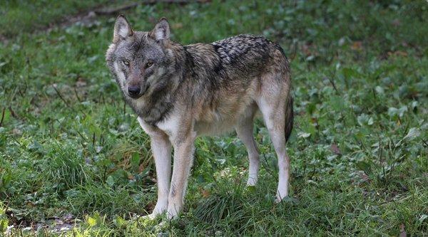 Wolf (H. Vierhaus)
