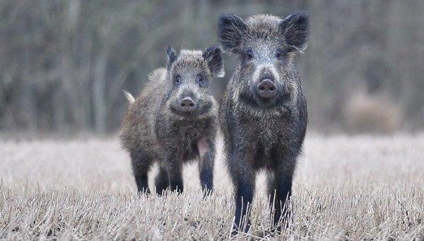Wildschweine (A. Müller)