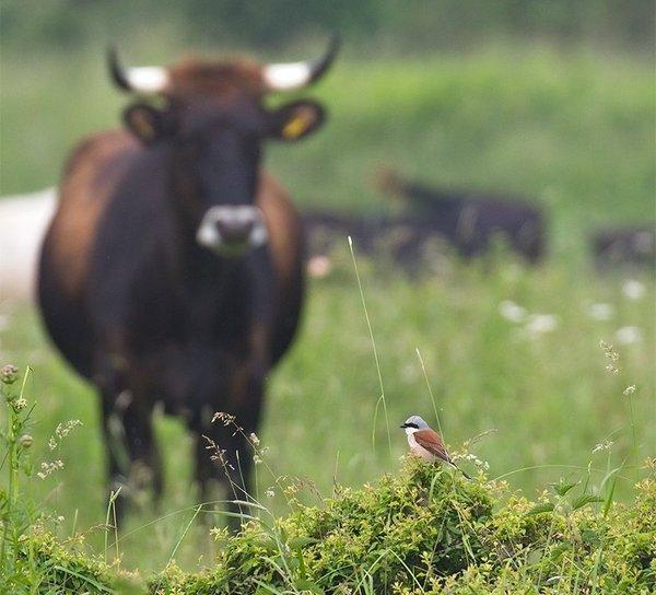 Der Neuntöter erreicht höchste Dichten auf den Naturentwicklungsflächen (M. Bunzel-Drüke)