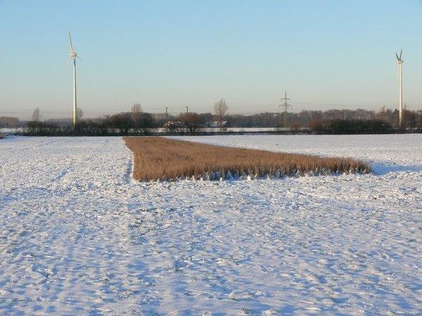 Nicht geernteter Weizenstreifen bietet Nahrung für Körnerfresser im Winter (R. Joest)