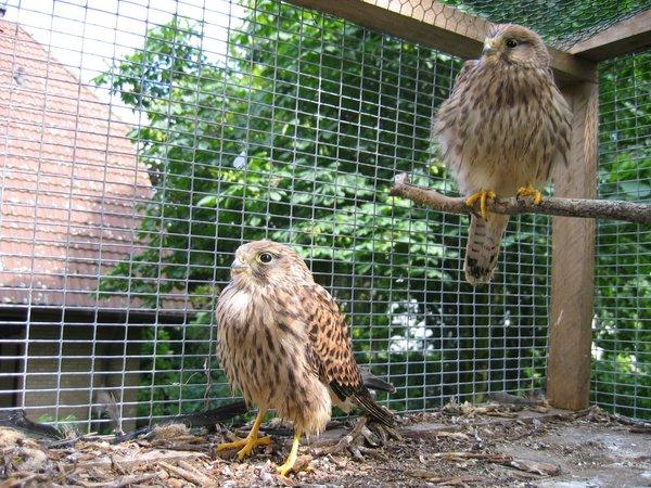Bevor die Tiere ausgewildert werden können, müssen sich für einige Zeit in einen Auswilderungskäfig (D. Hegemann)