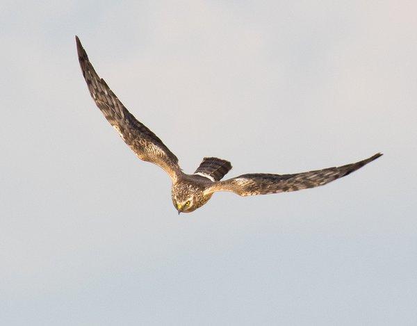 Wiesenweihen-Weibchen (M. Bunzel-Drüke)