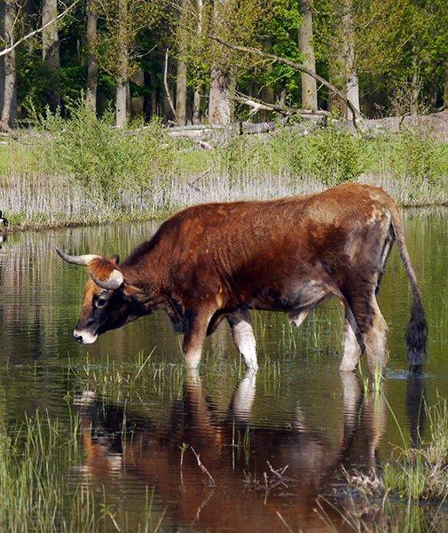 Auf Taurus-Rinder sind offenbar eitel (Foto: M.Scharf) Wasser Rind kuh spiegelt sich