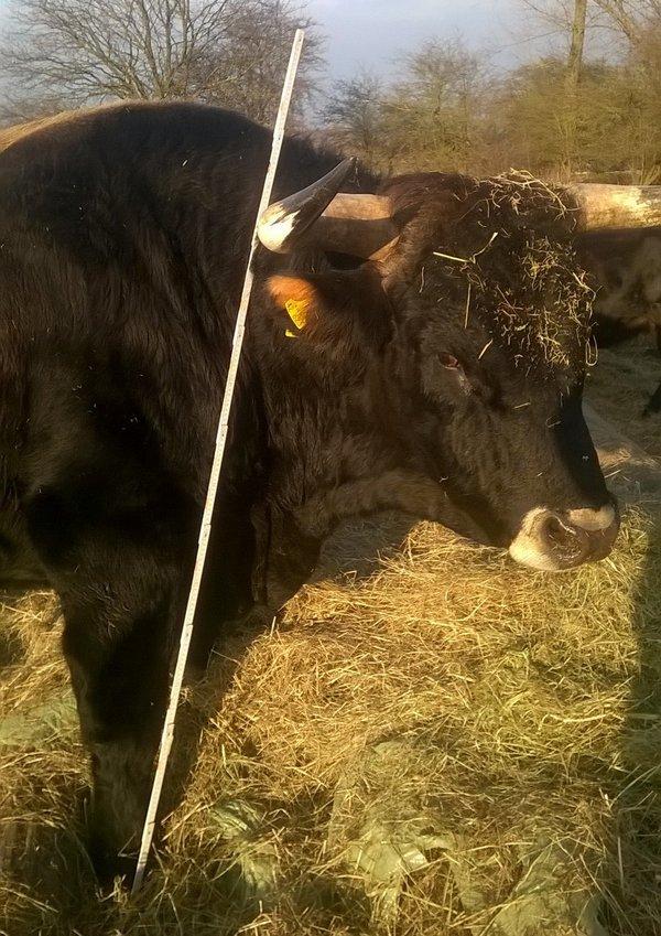 "Vermessung des Taurus-Bullen ""Laokoons Bruder"" Stockmaß ca. 1,75m (Foto: R.Loerbroks)"