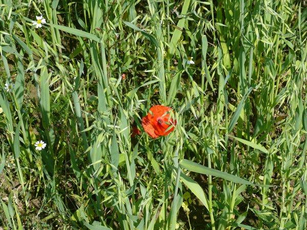 Extensivierte Getreideanbau fördert Ackerwildkräuter und Insekten (R. Joest)