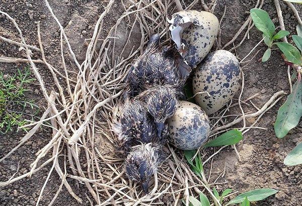 Schon nach wenigen Stunden verlassen diese frisch geschlüpften Küken das Nest (B. Beckers)