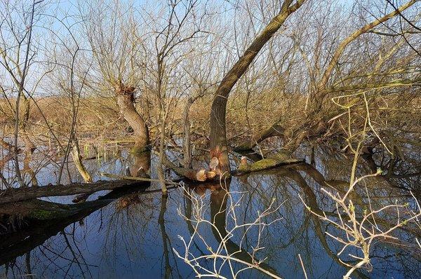Der Graben wurde vom Biber zu einem Teich angestaut (N. Jaworski)
