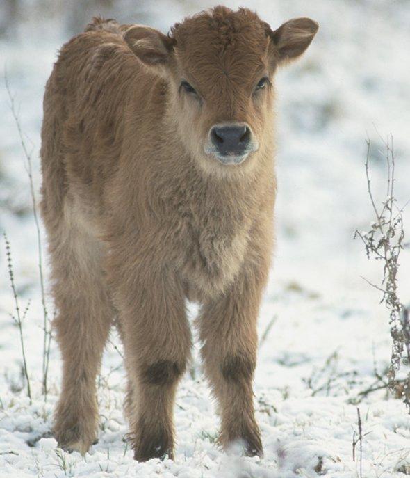 Taurus Kalb im Winterfell (Foto: M.Scharf) Heckrindkalb Kälbchen