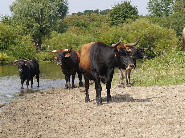 Taurusrinder in der Hellinghauser Mersch (M. Scharf)