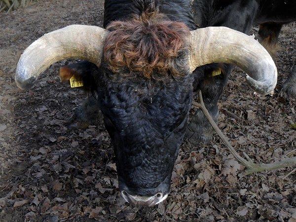 Die Hörner des Bullen Linnet sind mit 90 cm Spanne der Zeit unsere beindruckensten in unserer Taurus-Rinder Zucht (Foto:R.Loerbroks)