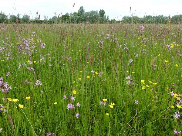 Artenreiche, feuchte Glatthaferwiese im Osten des Gebietes (L. Hauswirth)