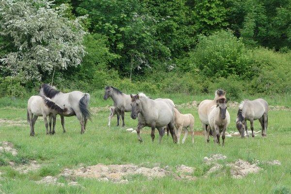 Auch Konikpferde werden auf den Naturentwicklungsflächen eingesetzt (P. Salm)
