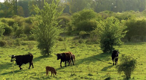 Artenvielfalt durch Ganzjahresbeweidung mit urzeitlichen Taurus-Rindern und Pferden Konik-Pferden und Przewalski-Pferden (Foto: M. Scharf)